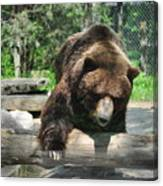 Great Grizzly's Canvas Print