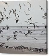 Great Gull Group On The Beach Canvas Print