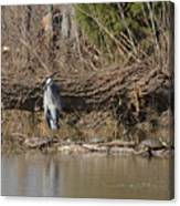 Great Heron And Turtles  Canvas Print