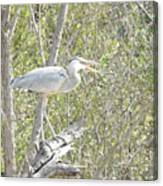 Great Heron With Mouth Open Canvas Print