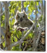 Great Horned Owl Chick Canvas Print
