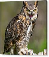 Great Horned Owl Screeching Canvas Print