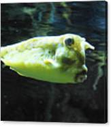 Great Longhorn Cowfish Swimming Along Underwater Canvas Print