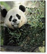 Great Panda Canvas Print