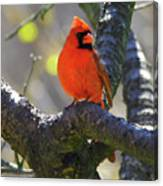 Great  Perch Male Northern Cardinal Canvas Print