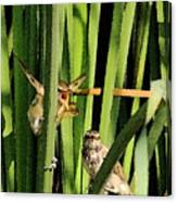Great Reed Warbler Canvas Print