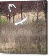 Great White Egret - 3 Canvas Print