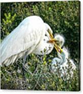 Great White Egret Family Canvas Print