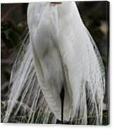 Great White Egret Windblown Canvas Print