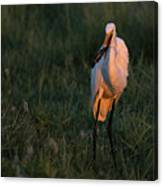 Great White Egret With Armored Catfish Canvas Print