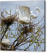 Great Egrets, Nest Building Canvas Print