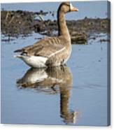 Great White Fronted Goose Canvas Print