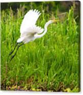 Great White Heron Takeoff Canvas Print