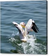 Great White Pelican In Flight Canvas Print