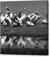 Great White Pelicans, Lake Nakuru, Kenya Canvas Print