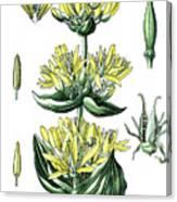 great yellow gentian, Gentiana lutea Canvas Print
