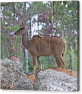 Greater Kudu Female - Rdw002756 Canvas Print