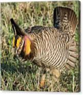 Greater Prairie Chicken Male 9 Canvas Print