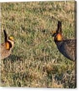 Greater Prairie Chicken Males 1 Canvas Print