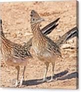 Greater Roadrunner Bird Canvas Print
