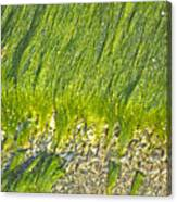 Green Algae On Rock Canvas Print