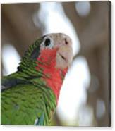 Green And Red Conure With Ruffled Feathers Canvas Print