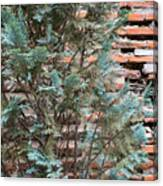 Green And Red - Cypress Branches Over Antique Roman Brick Wall Canvas Print