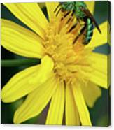 Green Bee On Yellow Daisy Canvas Print