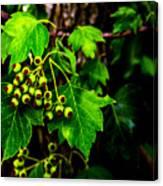 Green Berries Canvas Print