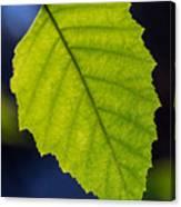 Green Beech Leaf 1 Canvas Print