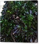 Green-black Cucculent Plant. Big Bush Canvas Print