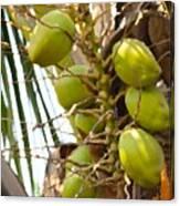 Green Coconut Canvas Print