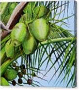 Green Coconuts-02 Canvas Print