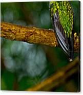 Green-crowned Brilliant Hummingbird Canvas Print