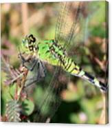 Green Dragonfly Macro Canvas Print