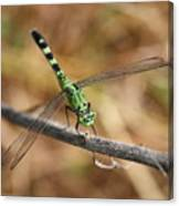 Green Dragonfly On Twig Canvas Print