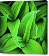 Green False Hellebore Canvas Print