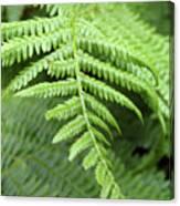 Green Fern 2 Canvas Print