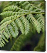 Green Fern Canvas Print