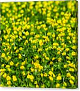 Green Field Of Yellow Flowers 2 1 Canvas Print