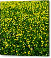 Green Field Of Yellow Flowers 3 Canvas Print