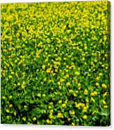 Green Field Of Yellow Flowers Canvas Print