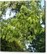 Green Fizalis Plant Canvas Print