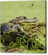 Green Gator Canvas Print