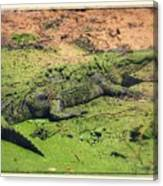 Green Gator With Border Canvas Print