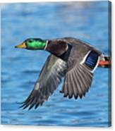Green Head Flyby Canvas Print