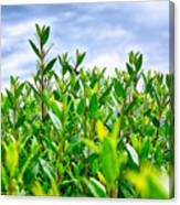 Green Hedge Canvas Print