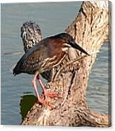 Green Heron 1 Canvas Print