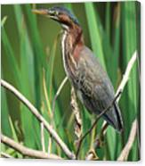 Green Heron At The Governor's Palace Gardens Canvas Print