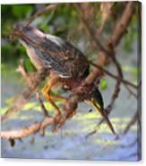 Green Heron Brazos Bend State Park Canvas Print